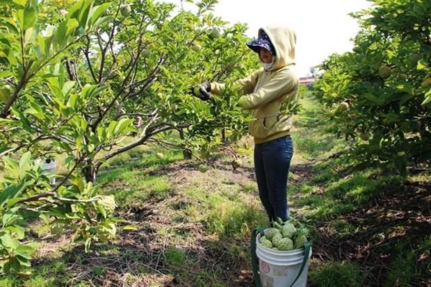 Tay Ninh custard apple farmers embrace VietGAP standards hinh anh 1
