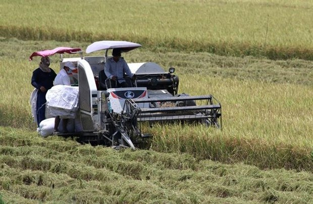 Mekong Delta summer- autumn rice output to go up slightly: authorities hinh anh 1