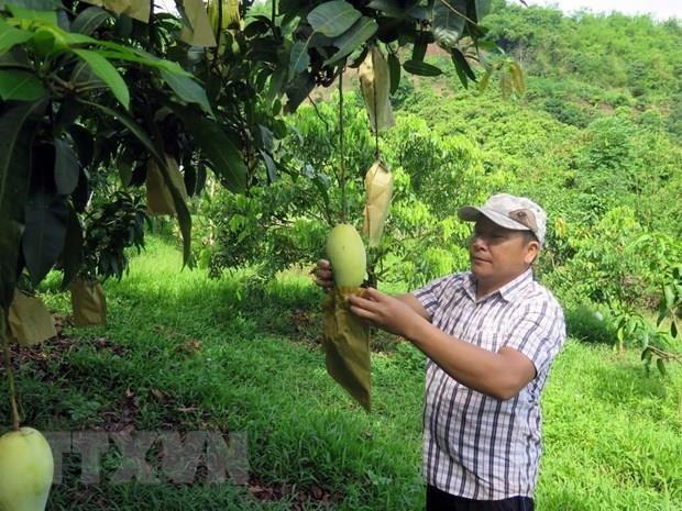 Vietnamese mangoes enter Chilean market hinh anh 1