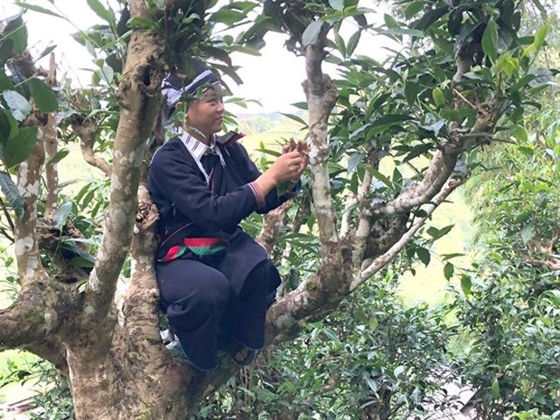 Ancient tea trees get top recognition and protection hinh anh 1