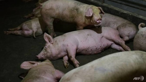 Philippines culls over 7,400 pigs over African swine fever outbreak hinh anh 1