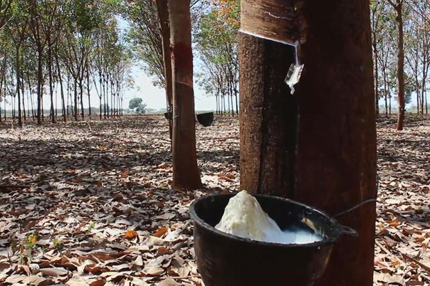 DTN: Thailand becomes world's biggest rubber exporter hinh anh 1