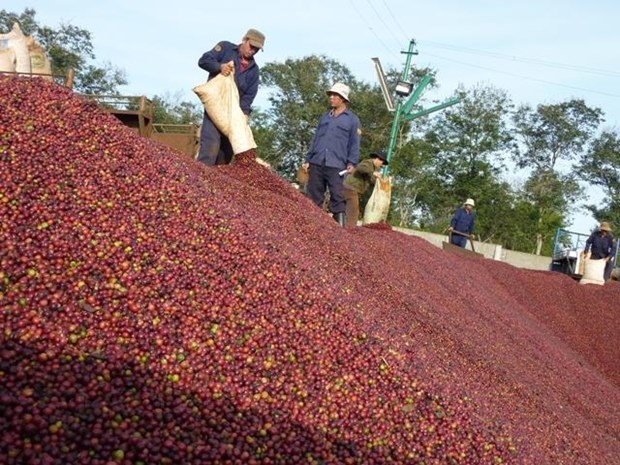 Vietnam's coffee exports plummet in eight months hinh anh 1