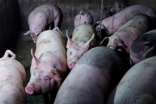Thailand culls 200 pigs in fear of African swine fever hinh anh 1