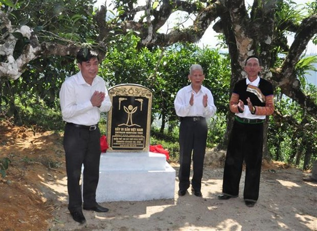 Ancient tea trees in Yen Bai receive recognition hinh anh 1