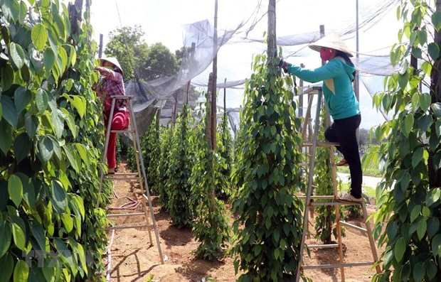 Vietnam's pepper sector targets sustainable development hinh anh 1