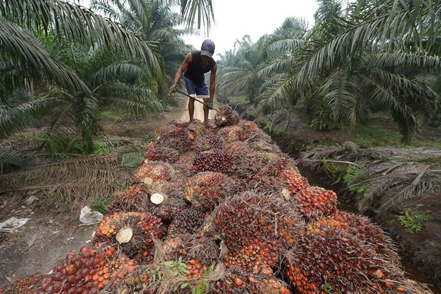 Indonesia halts export levy on crude palm oil amid global price drops hinh anh 1
