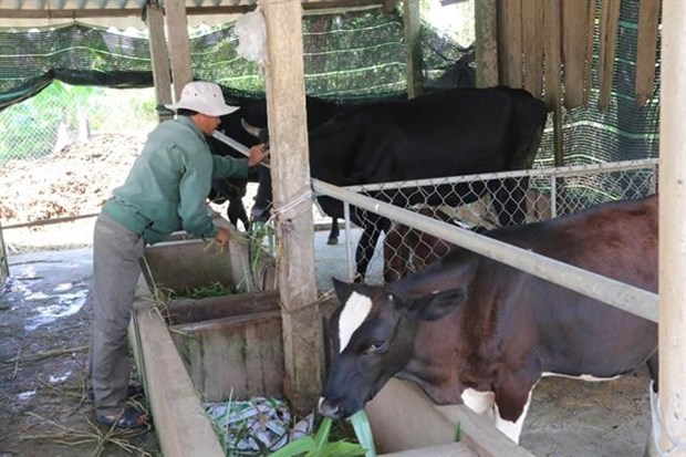 Mekong Delta develops beef, dairy farming hinh anh 1