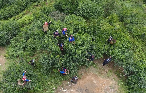 Efforts made to preserve ancient shan tuyet tea trees in Ha Giang hinh anh 1