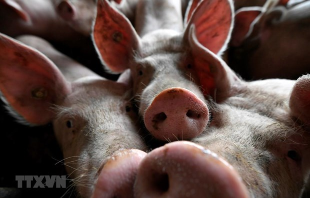 Timor Leste reports African swine fever outbreaks hinh anh 1