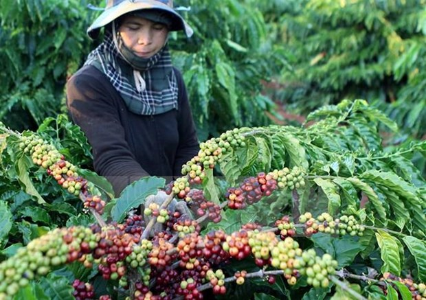 Coffee exports down in 9 months hinh anh 1