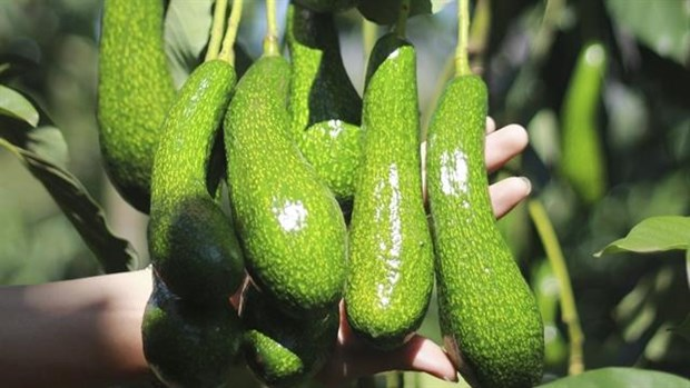Vietnam tries to get US export licence for avocados hinh anh 1