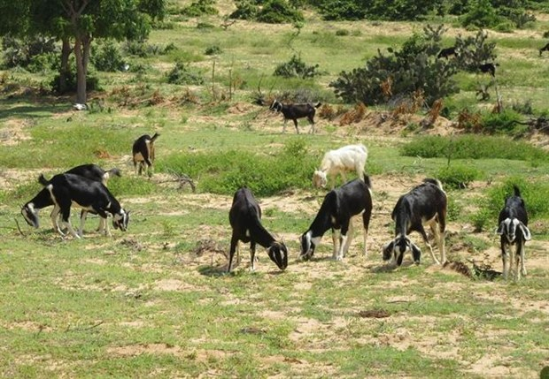 Ninh Thuan province finds goat farming lucrative to expand hinh anh 1