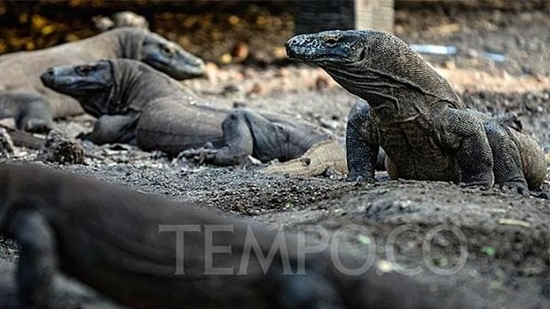 Indonesia to build museum dedicated to Komodo dragons hinh anh 1