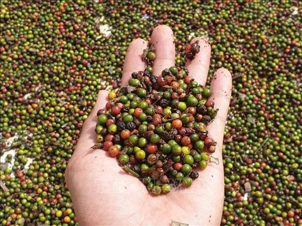 Firms cautioned when exporting pepper to Myanmar hinh anh 1