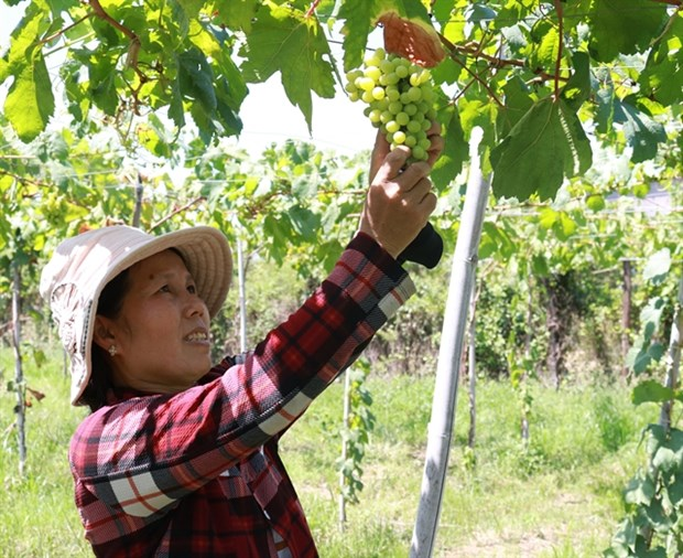Ninh Thuan farmers grow more foreign grape varieties hinh anh 1