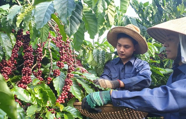 MoIT seeks ways to boost coffee exports hinh anh 1