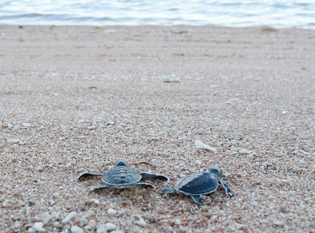 Over 1,500 baby turtles released at Nui Chua National Park hinh anh 1