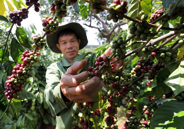 118,202ha of old coffee trees replaced in Central Highlands hinh anh 1