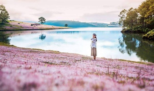 Pink grass festival to be celebrated in Lam Dong hinh anh 1