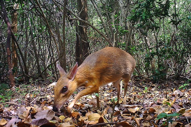 World's smallest ungulates spotted in Vietnam after nearly 30 years hinh anh 1