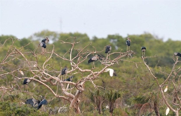 Valuable birds migrate to Bac Lieu province hinh anh 1