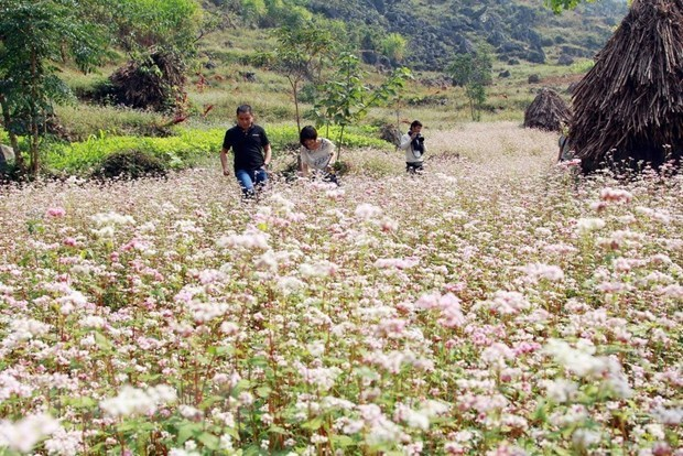 Buckwheat flower festival in Ha Giang hinh anh 1