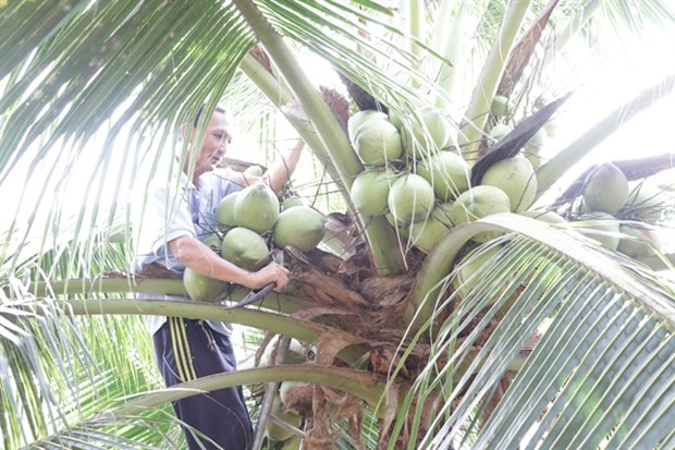 Coconut offers high value for farmers amid climate change hinh anh 1