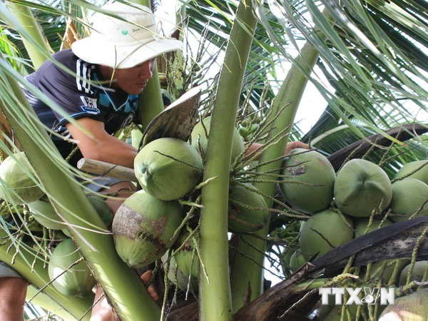 Over 200,000 visitors flock to Ben Tre coconut festival hinh anh 1