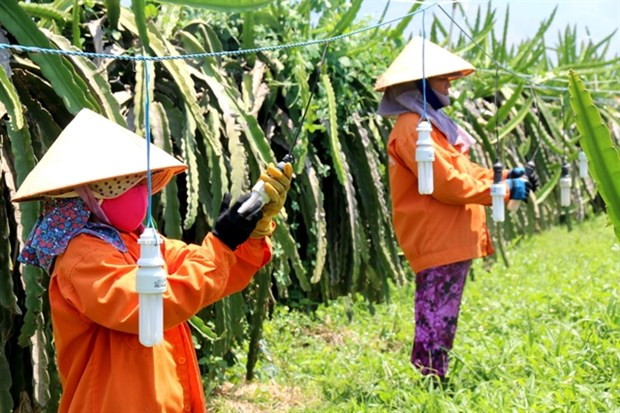 Binh Thuan grows more dragon fruit under GAP standards hinh anh 1