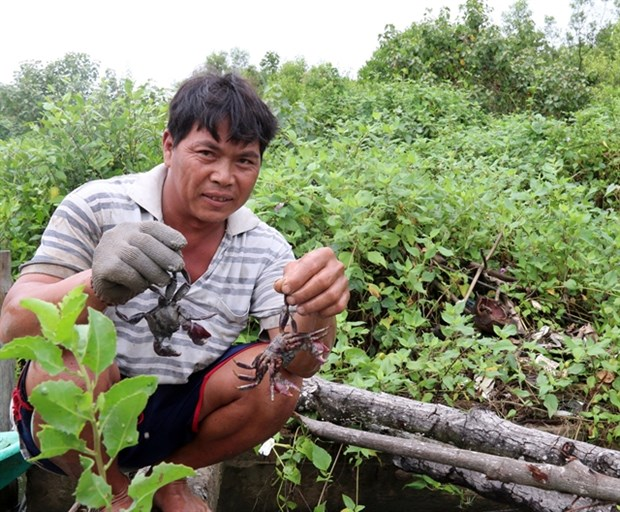 Breeding aquatic species in mangrove forests reaps high income hinh anh 1