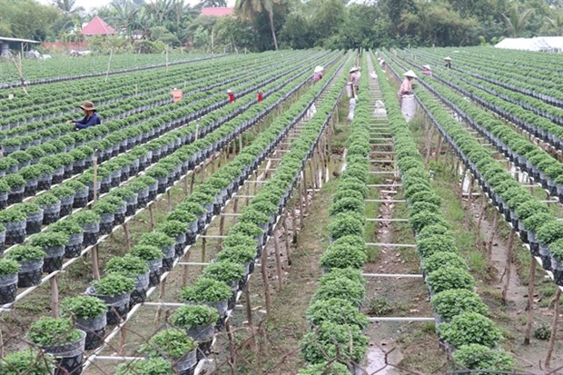 Mekong Delta farmers grow new flower varieties for Tet hinh anh 1