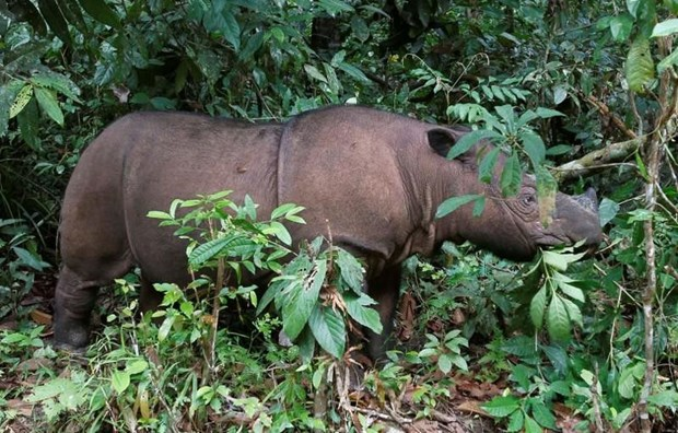 Sumatran rhino extinct in Malaysia hinh anh 1