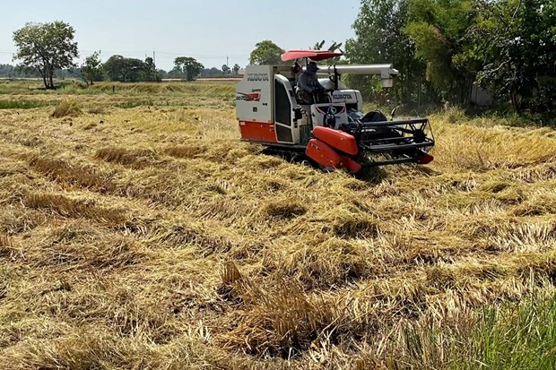 Thailand's paddy output to decline in 2019-2020 season hinh anh 1