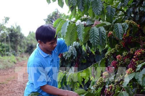Coffee prices expected to rise due to supply shortage hinh anh 1