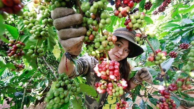 Third Vietnam Coffee Day to begin this weekend hinh anh 1