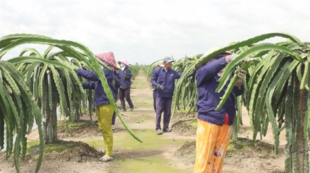 Off-season dragon fruit fetches high price for Tien Giang farmers hinh anh 1
