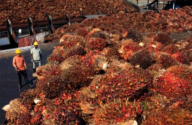 Malaysia plans to raise crude palm oil export tax hinh anh 1