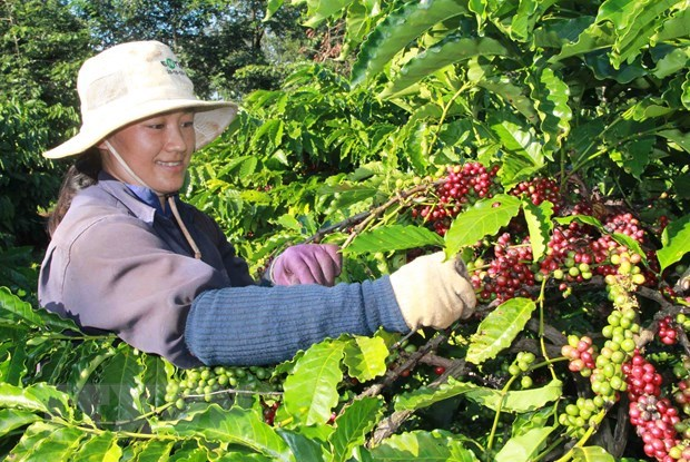 Coffee exports suffer strong drops hinh anh 1