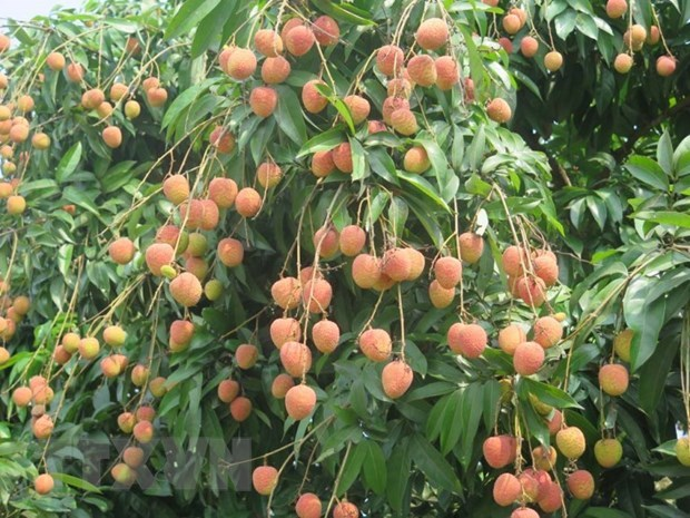 Japan opens door for Vietnamese lychee hinh anh 1