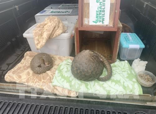 Nghe An police arrest two men illegally transporting pangolins hinh anh 1
