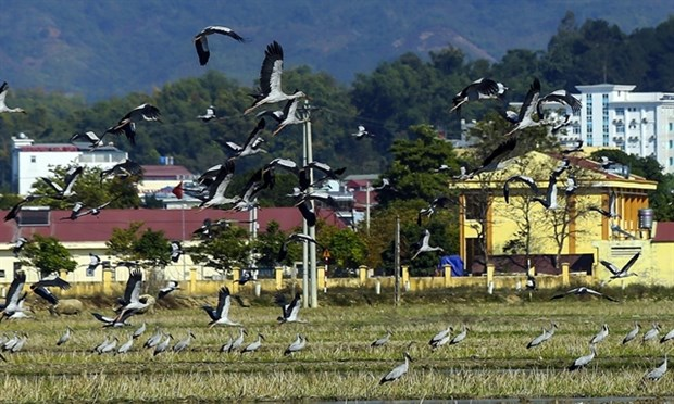 Rare storks appear in northern Dien Bien province hinh anh 1