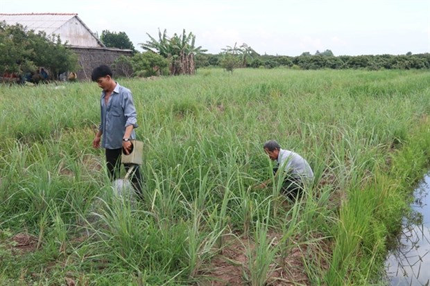 Lemongrass price rise benefits farmers in Mekong Delta district hinh anh 1