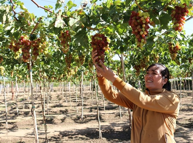 Ninh Thuan targets sustainable grape production hinh anh 1