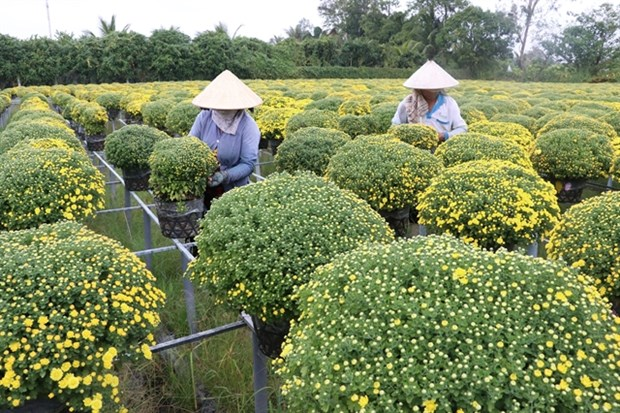 Mekong Delta farmers expect good harvest of Tet flowers hinh anh 1