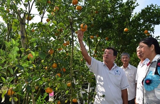 Pink mandarin yield for Tet falls dramatically hinh anh 1