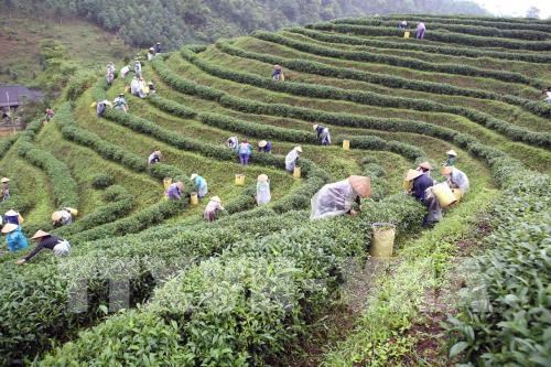 Thai Nguyen festival honours tea processing industry hinh anh 1