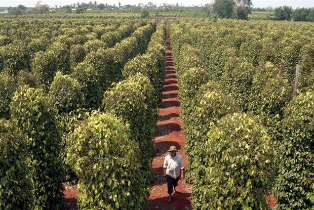 Quality key to pepper growth, not quantity hinh anh 1