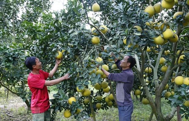 Dien pomelo - a Hanoi speciality hinh anh 1