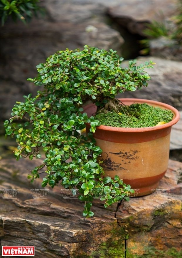 Bonsai captures vitality of nature hinh anh 1